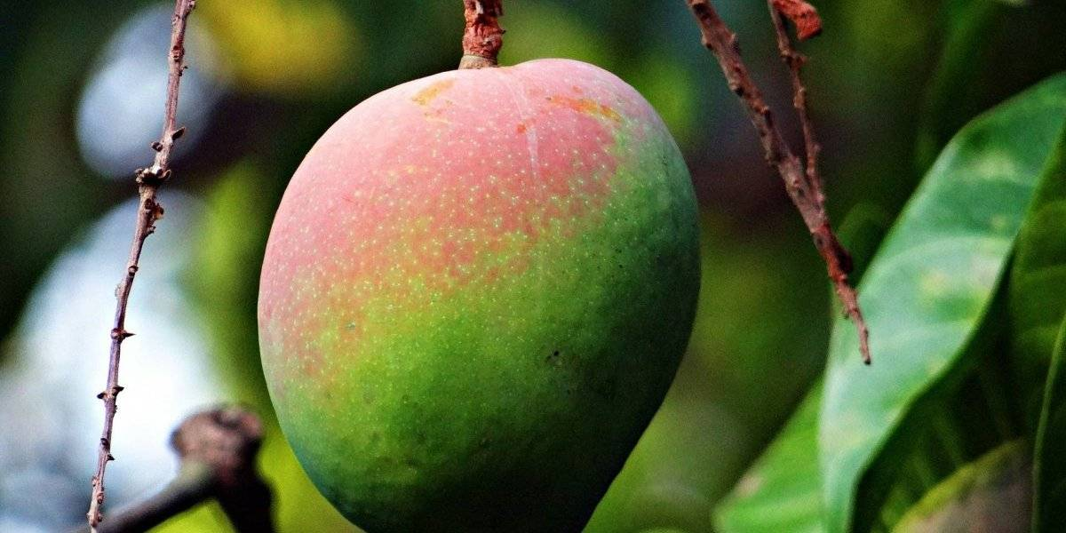 Estudo revela que manga e banana podem prevenir o câncer de cólon