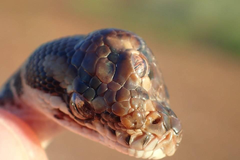 Insólito: Científicos encuentran serpiente con tres ojos en Australia