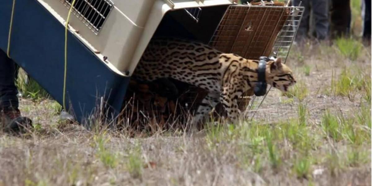 La tierna liberación de un tigrillo en su hábitat en Vichada que arrancó lágrimas