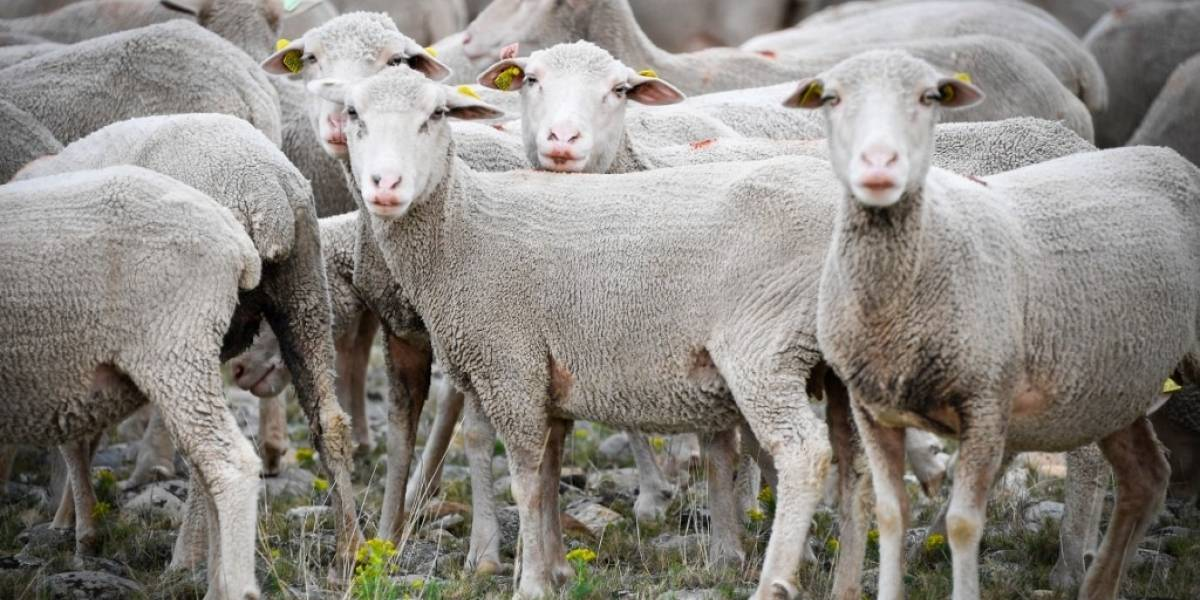 Inscriben en Francia a 15 ovejas en escuela rural para evitar cierre de una clase