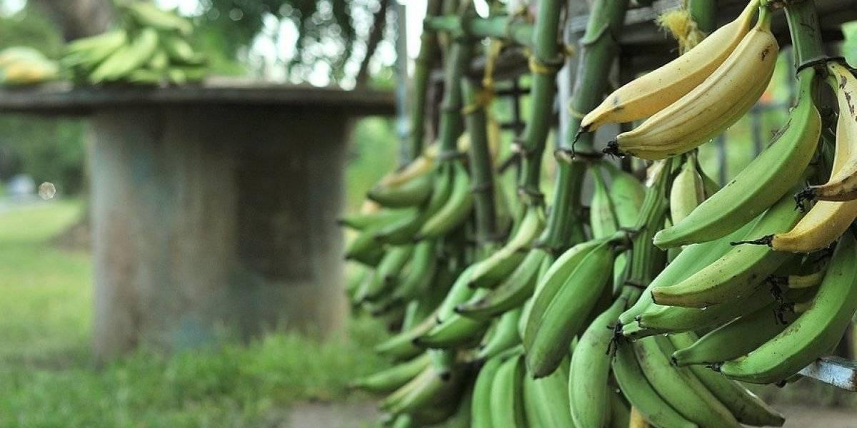 Agricultura declara veda total a plátanos y guineos de Colombia