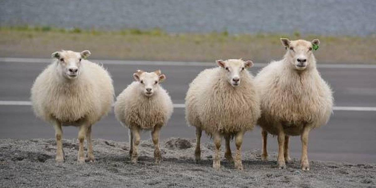 """Alumnos """"peludos"""": la insólita medida adoptada para salvar un colegio que involucra a un grupo de ovejas"""