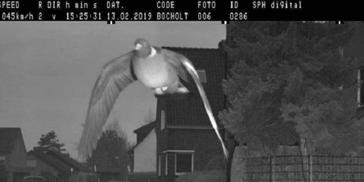 """No es una """"fake news"""": """"multan"""" a paloma por volar a exceso de velocidad y la foto se hace viral"""