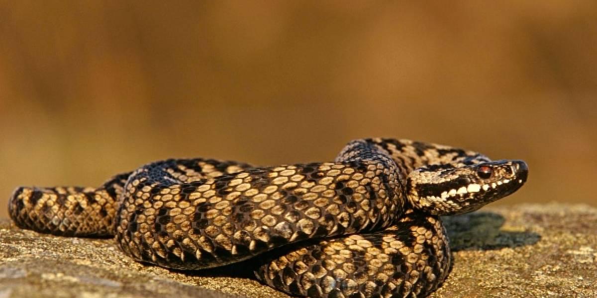 Serpiente venenosa muerde a anciano y abuelito decide vengarse de la misma manera: ambos murieron