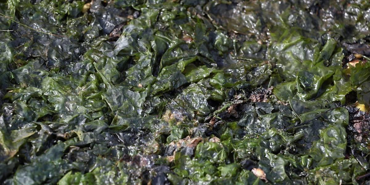 Usan algas en la Estación Espacial Internacional para generar oxígeno