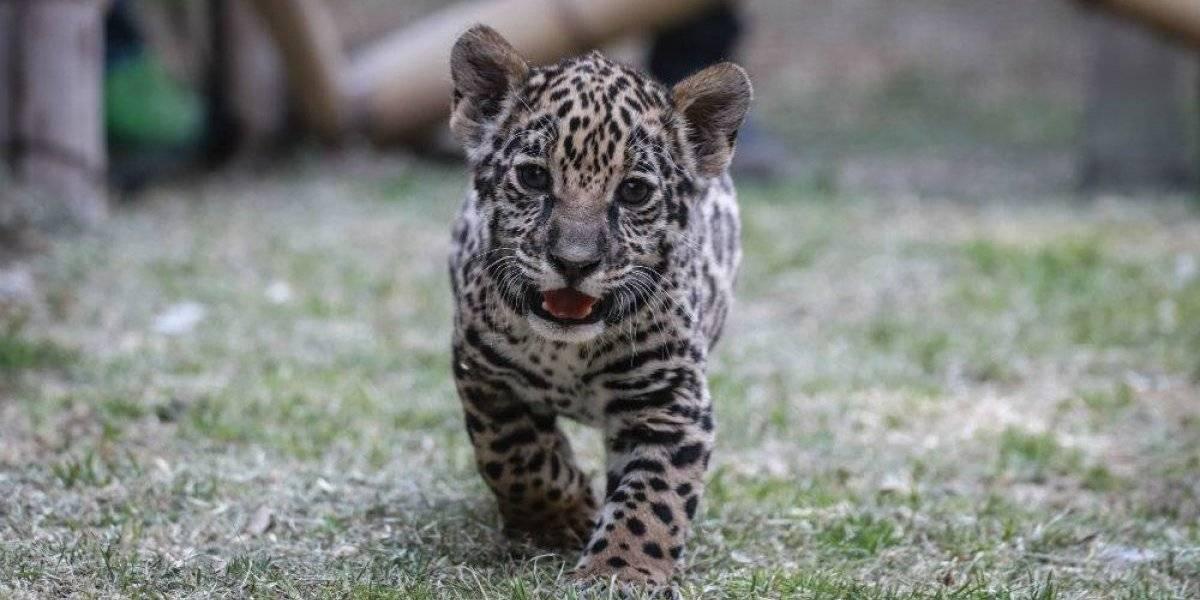 Presentan a cachorra de jaguar nacida en el Zoológico de Tlaxcala