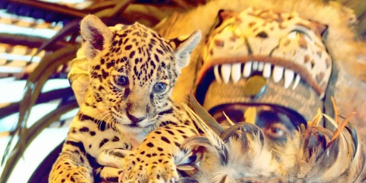 Buenas noticias en México: Zoológico presentó a su nueva cachorra de jaguar