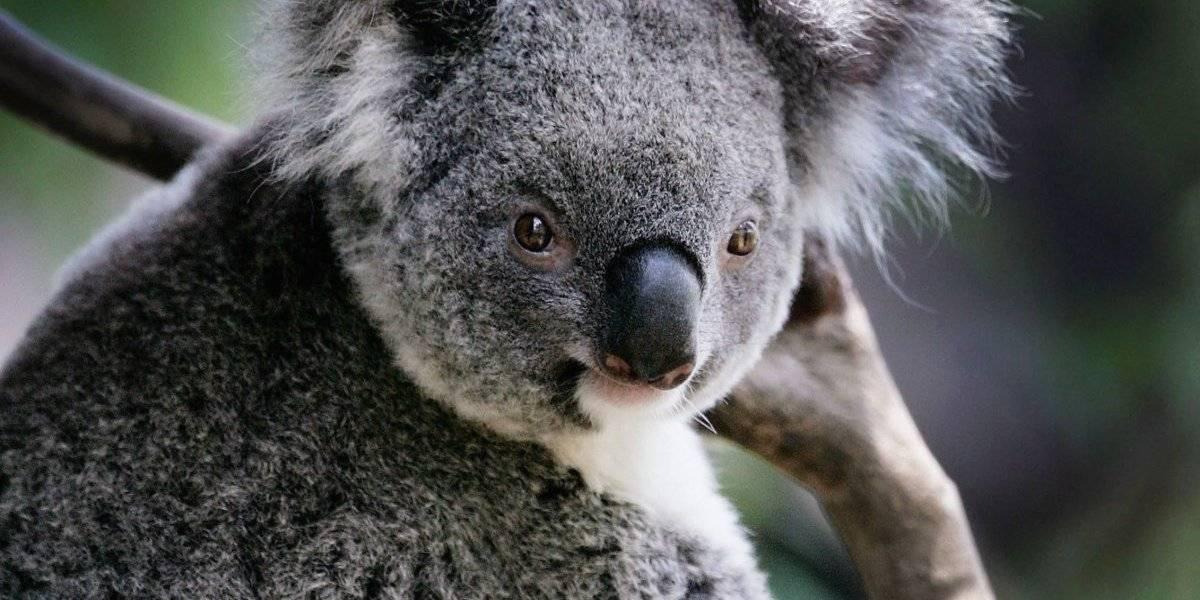 """Koalas ya son una especie """"funcionalmente extinta"""": ONG"""