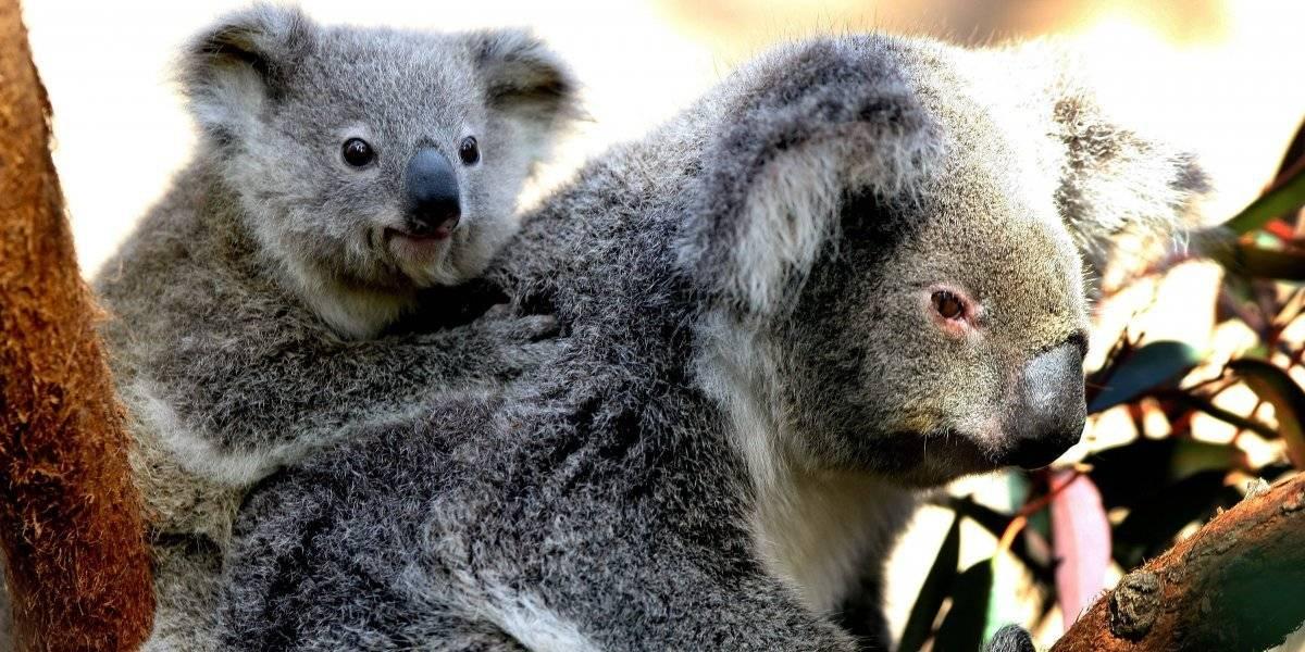 ¿Dónde ver koalas en México?