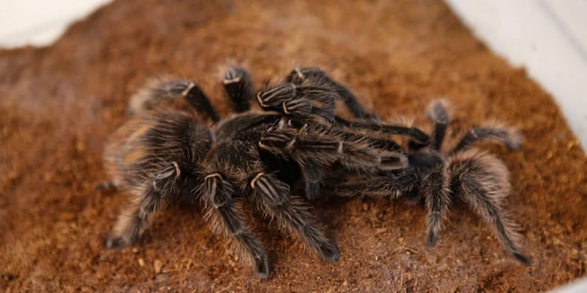"""¿Un idiota o un verdadero genio? Hombre compra una tarántula para evitar que su """"suegra loca"""" con miedo a las arañas vaya de visita a su casa"""