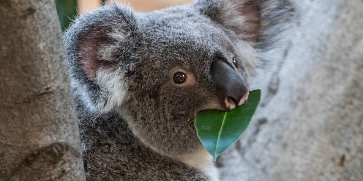 """¿El fin de uno de los animales más adorables? ONG declara a los koalas """"funcionalmente extintos"""""""