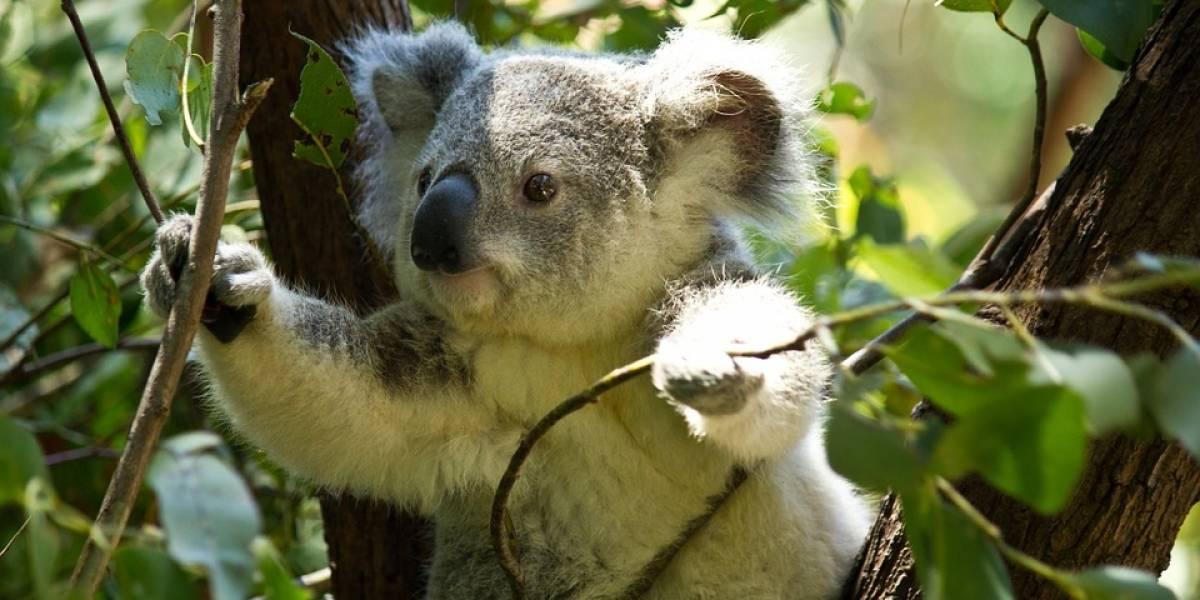 Pésimas noticias: El koala ha sido declarado funcionalmente extinto
