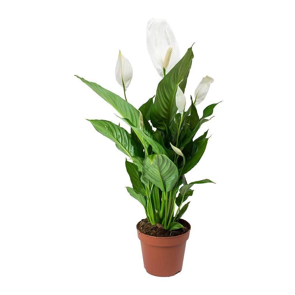 Planta Dracaena marginata