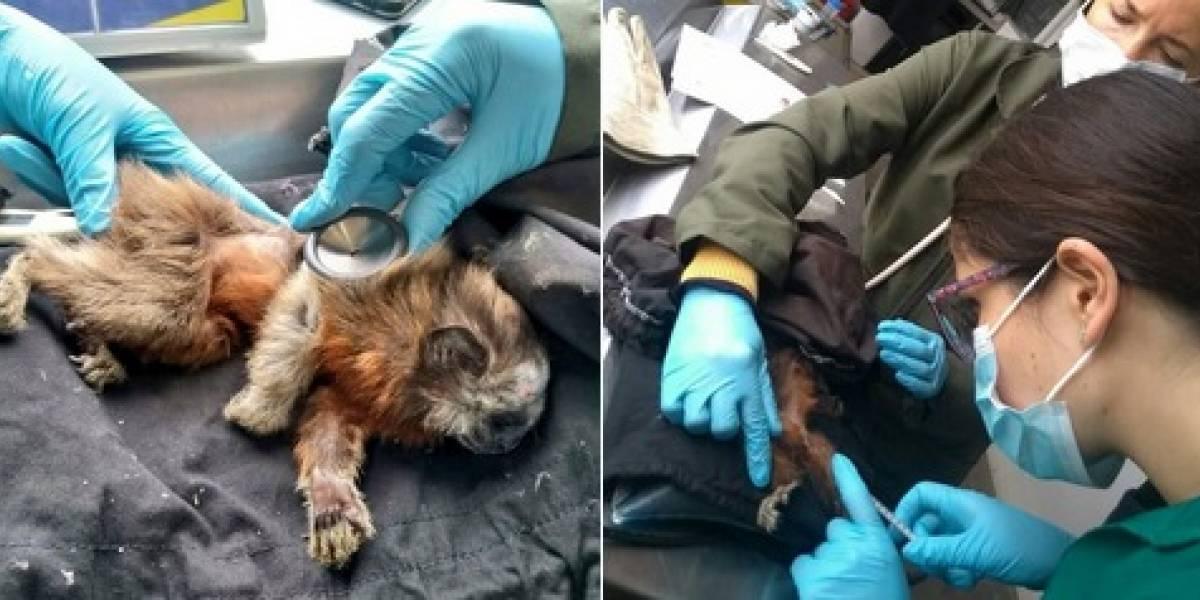 Rescatan mono tití que fue amarrado a un árbol en Bogotá