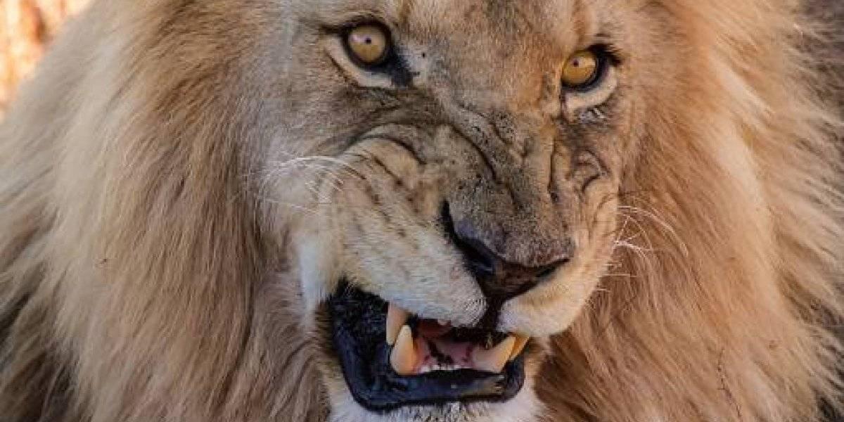 Quería acariciarlos y el padre la acercó: niña de 4 años grave después de feroz ataque de leones