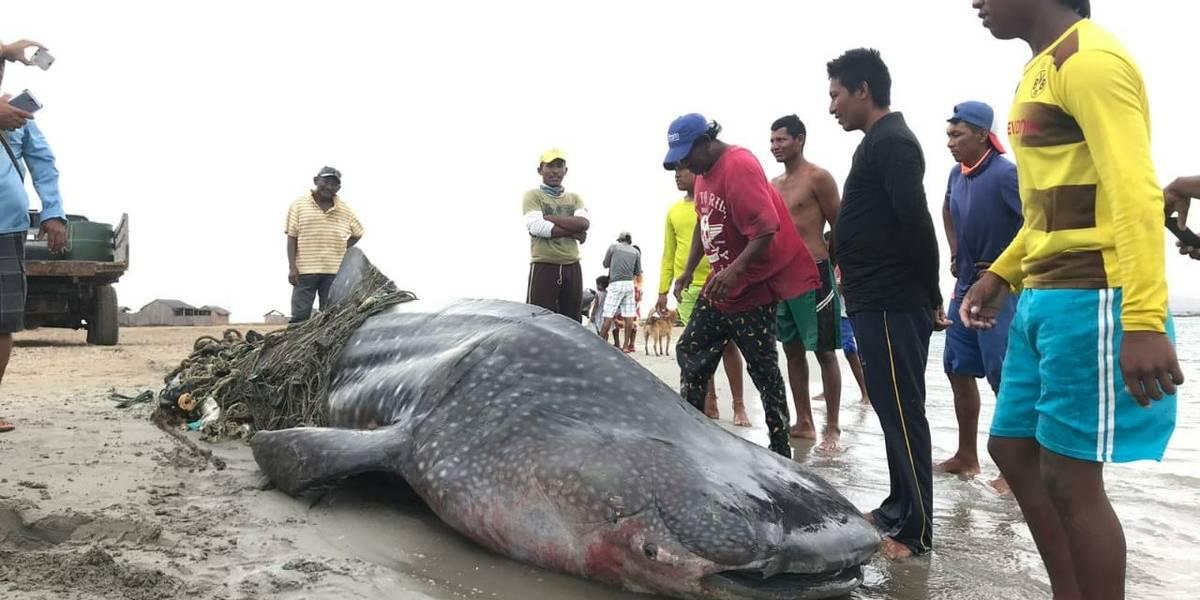La última agonía del tiburón ballena en La Guajira