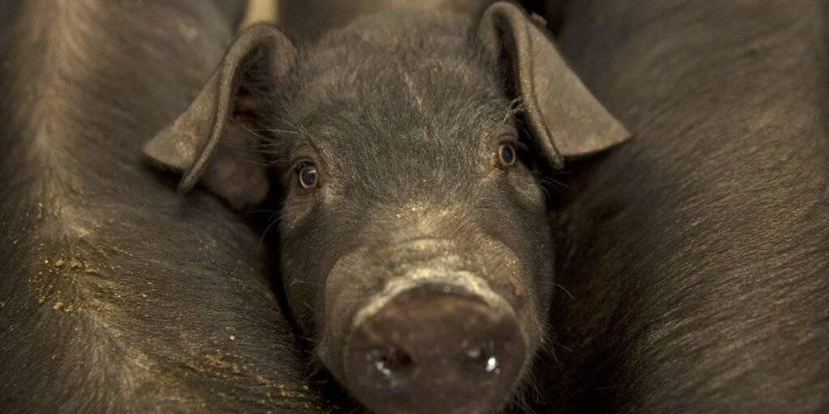 Peste porcina en China dispara el precio global del cerdo
