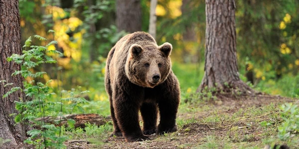 Un oso pardo cayó al precipicio por intentar huir de sus cazadores