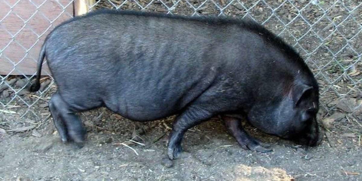Cerca el fin de los cerdos vietnamitas en el Caño Martín Peña