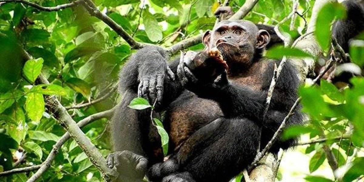 Rompen sus caparazones con los árboles: las tortugas son el nuevo plato en el menú de los chimpancés
