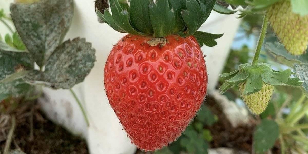 5 cosas que deben saber antes de visitar la finca de fresas en Barranquitas