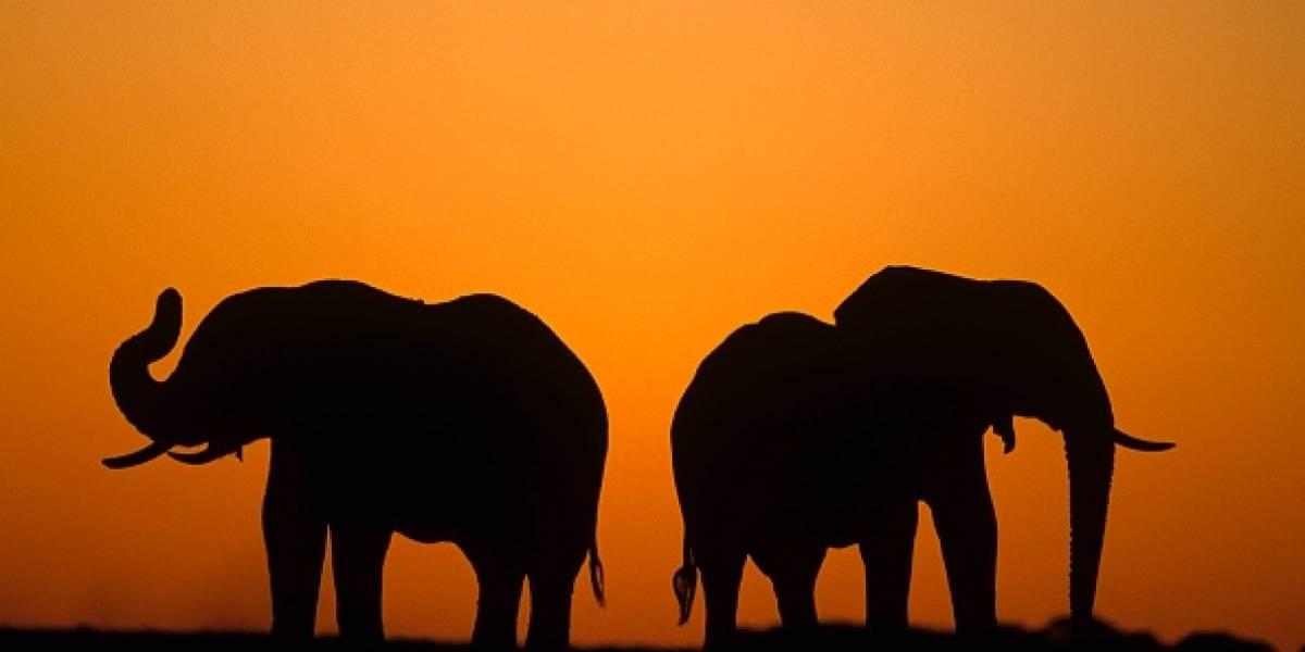"""Pésimas noticias: Botswana levanta prohibición de matar elefantes y abre la puerta la cacería """"por placer"""""""