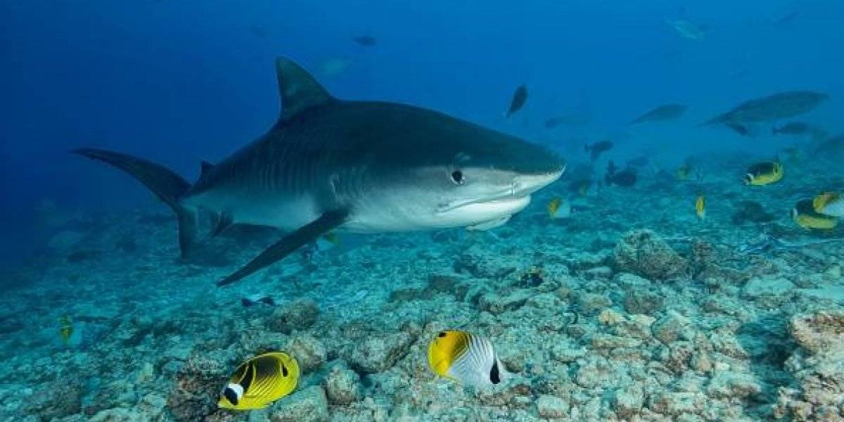 Sorprendente resultado: estudian vómito de los tiburones y descubren que tienen de presa a un impensado animal