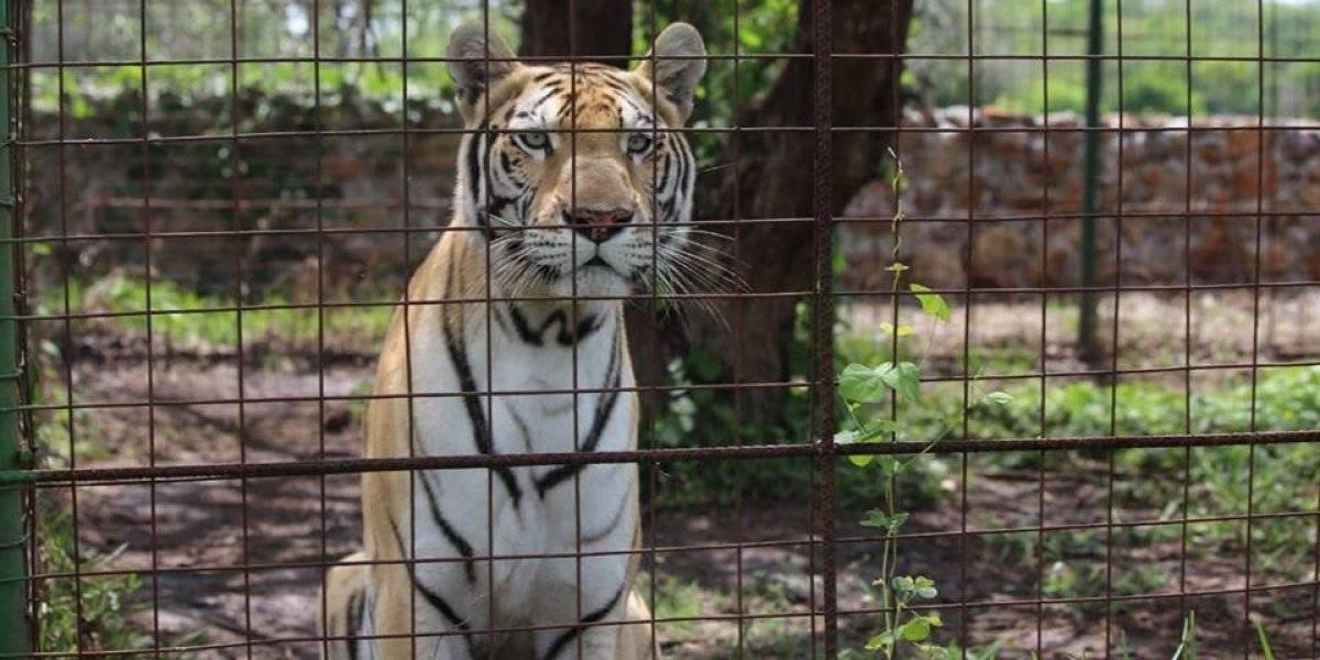 Localizan un tigre en Jutiapa durante allanamientos contra el narcomenudeo