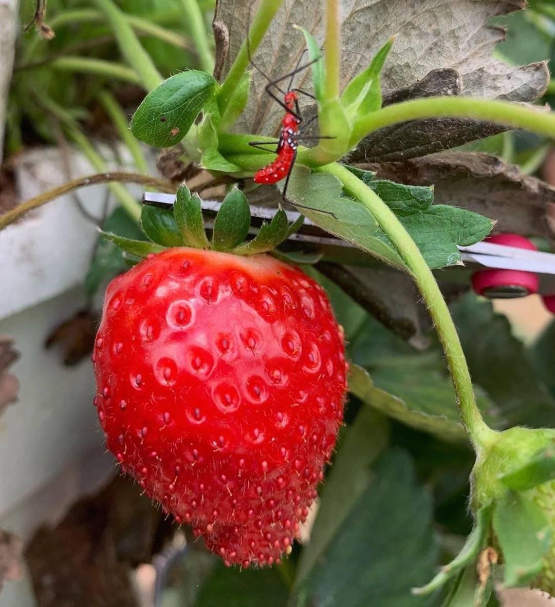 Finca de fresas en Barranquitas