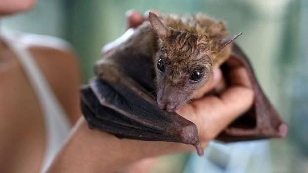 Confirman que las hembras de una especie de murciélago intercambian sexo por comida