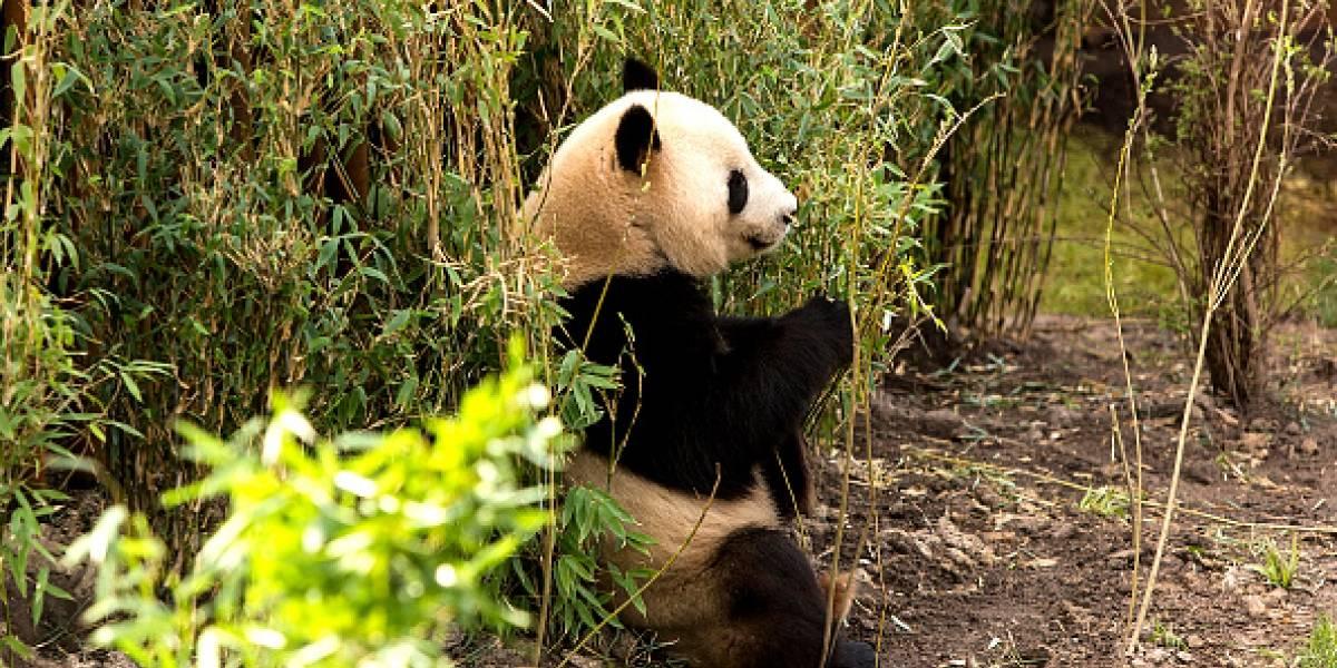Captan por primera vez un panda gigante albino en China
