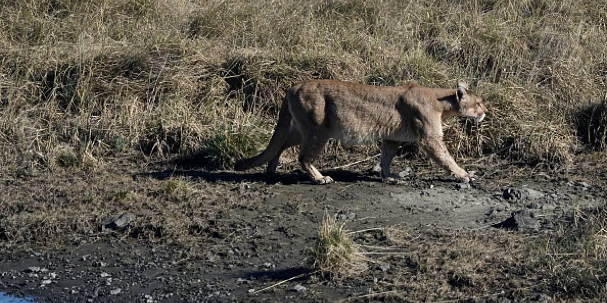 Maldad sin límites en la Pampa del Infierno: cazadores mataron a una puma, la faenaron y robaron a su cachorro