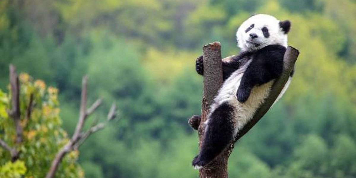China: Captan por primera vez un panda gigante albino