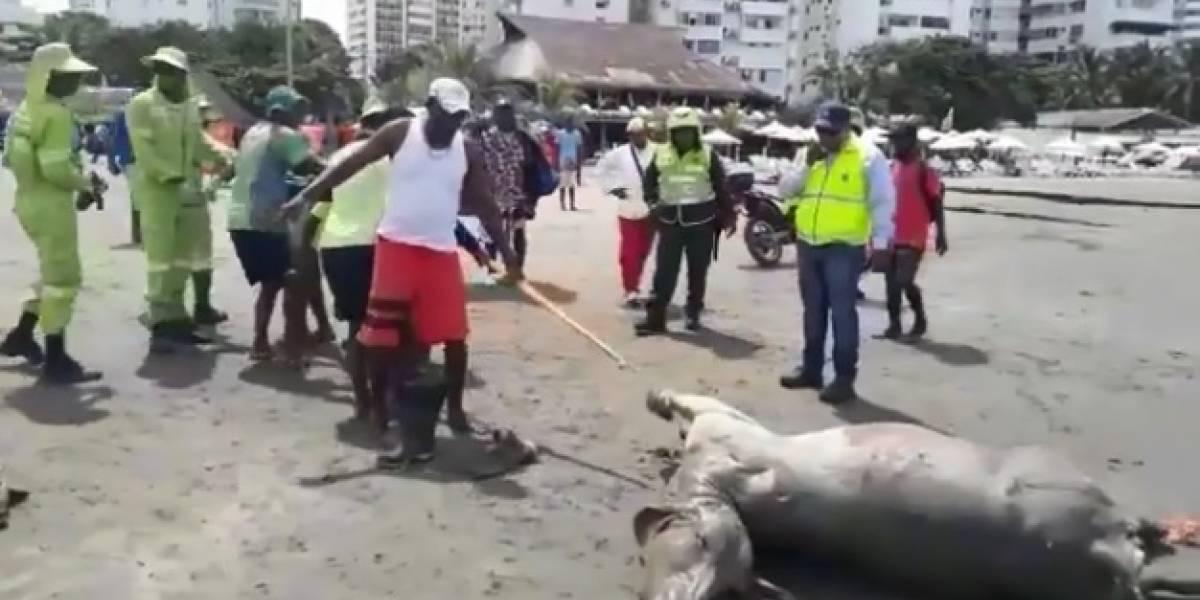 Encuentran a un novillo muerto en playa de El Laguito en Cartagena