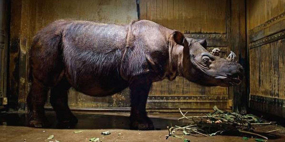Muere el último rinoceronte macho de Sumatra en Malasia