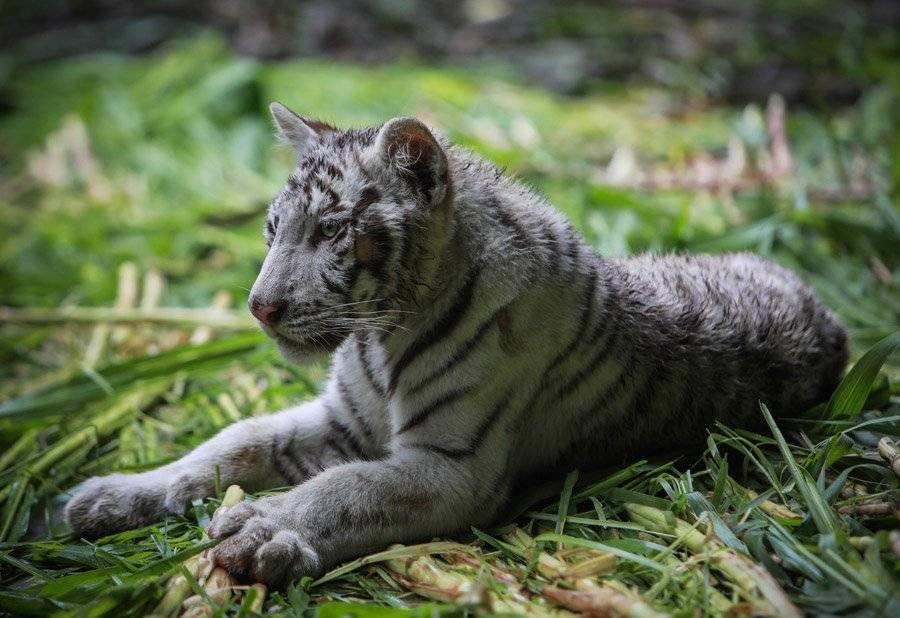 Tigres blancos llegan a zoológico de Nicaragua