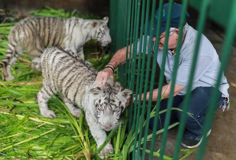Tigres blancos en el Zoológico Nacional de Nicaragua