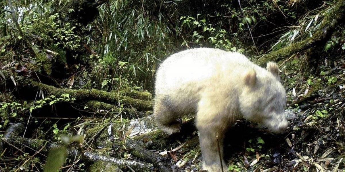 Retratan un panda albino en una reserva en China