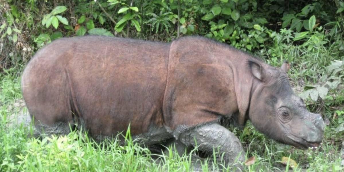Malasia: Murió el último rinoceronte de Sumatra macho