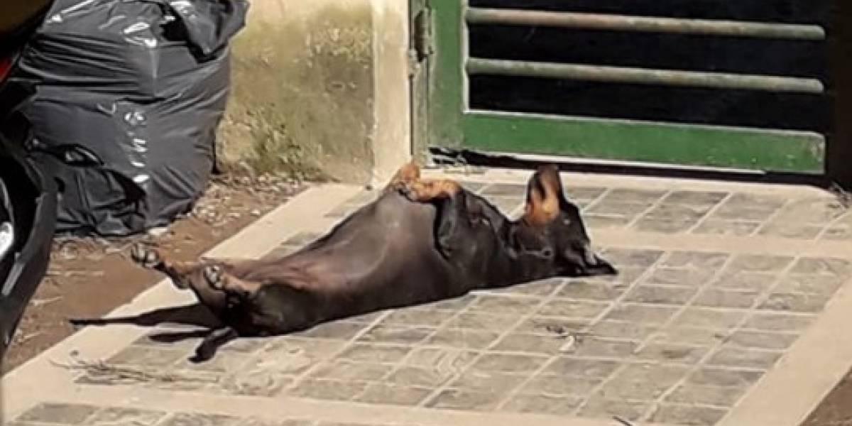 """""""Ella fue víctima de la cruda realidad que vive Argentina"""": perrito salchicha sufre el robo de su vestido y causa indignación en las redes sociales"""