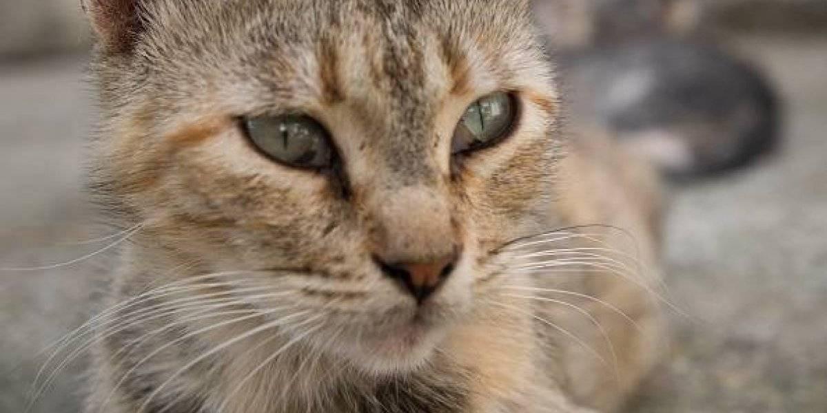 Odiosos felinos: organizaron millonario rescate para salvar la vida de gatita atrapada y no lo lograron pero un día después llegó a su casa sin problemas