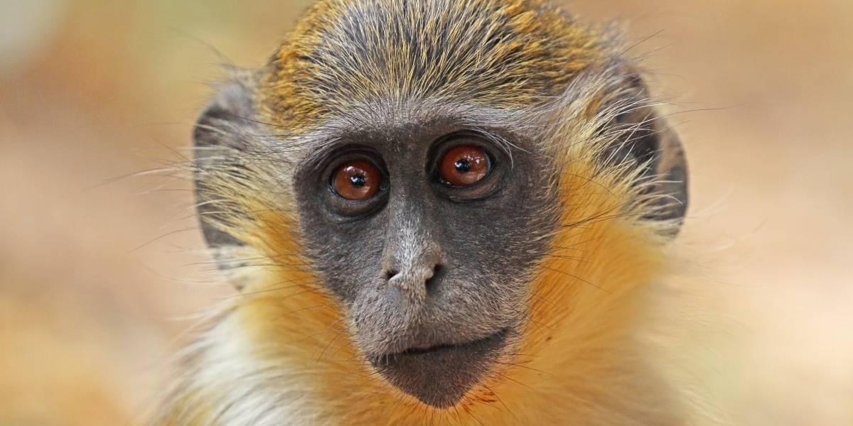 Una especie de monos africanos creó un sonido especial para alertar sobre la presencia de drones
