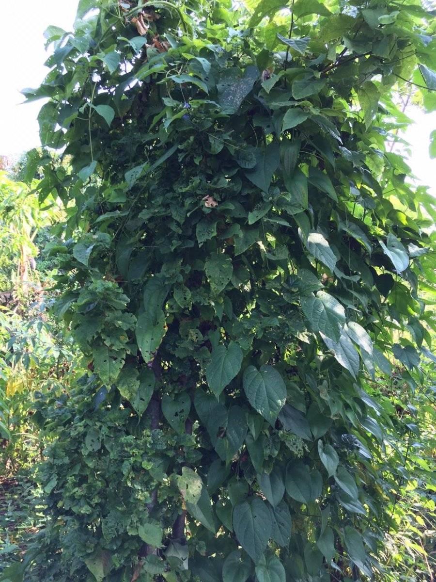 Planta de ñame crecida. The Jari´s Farm