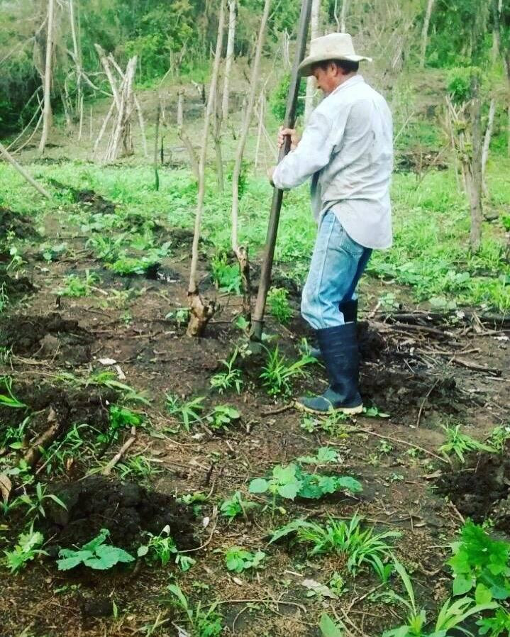 Estacas donde crece la enredadera del ñame. The Jari´s Farm