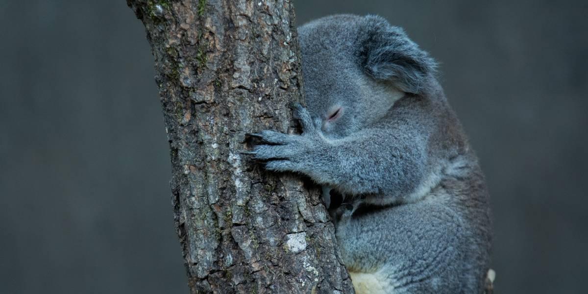 Perto do fim: especialistas declaram coalas 'funcionalmente extintos'