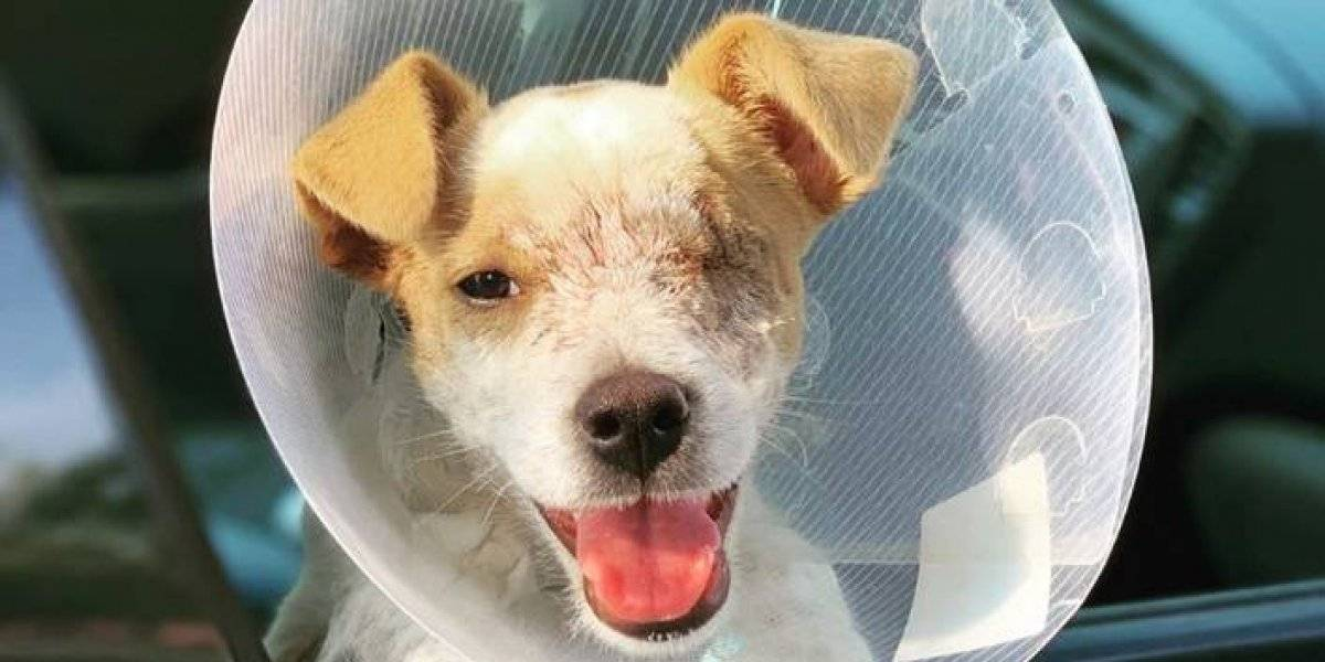 Perdió un ojo, pero está listo para iniciar una nueva vida: el cachorro milagro que sobrevivió a tres disparos en la cabeza
