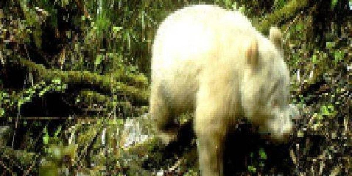 Primer panda albino avistado en China