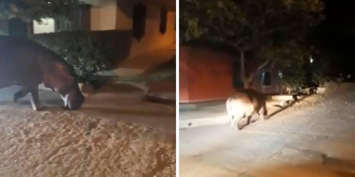 Video: un hipopótamo de Pablo Escobar se escapó en las calles de Antioquia