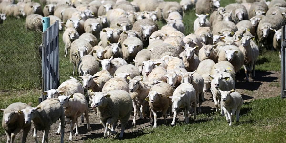 Una de cada 12 ovejas es gay, según estudio