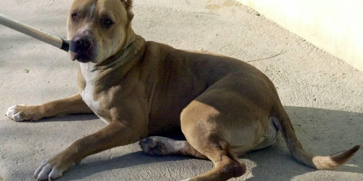 Hombre robó un perro de raza para regalarle a su novia, pero lo terminó matando a golpes